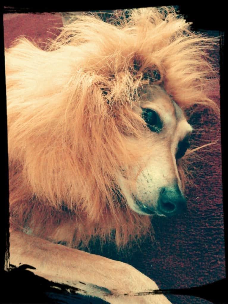 Pluto lion