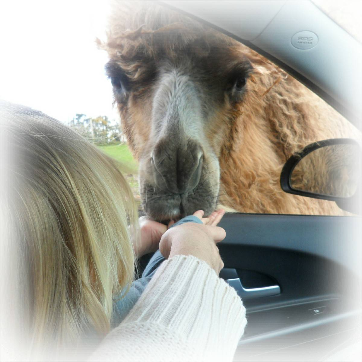 West Midlands Safari Park camel poking its head into a car to be fed by a little girl