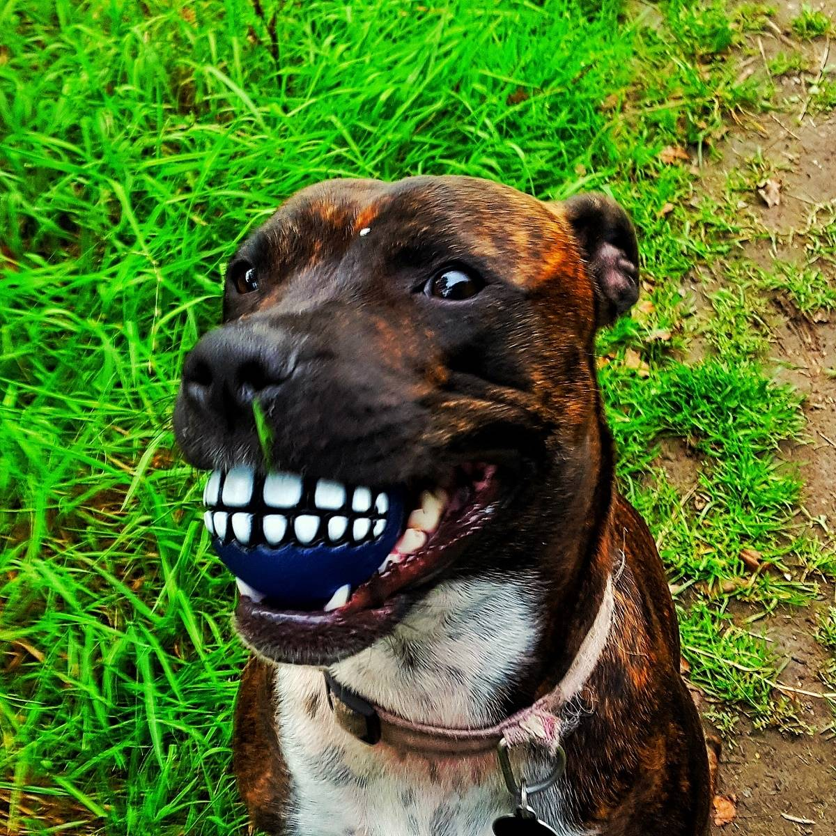 brindle staffie dog with a ball in her mouth. The ball is blue with teeth drawn onto it. Dog looks like she is smiling a crazy grin.