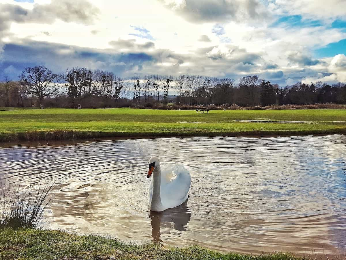 Dog friendly West Midlands Swan on lake at Cob house in Worcestershire