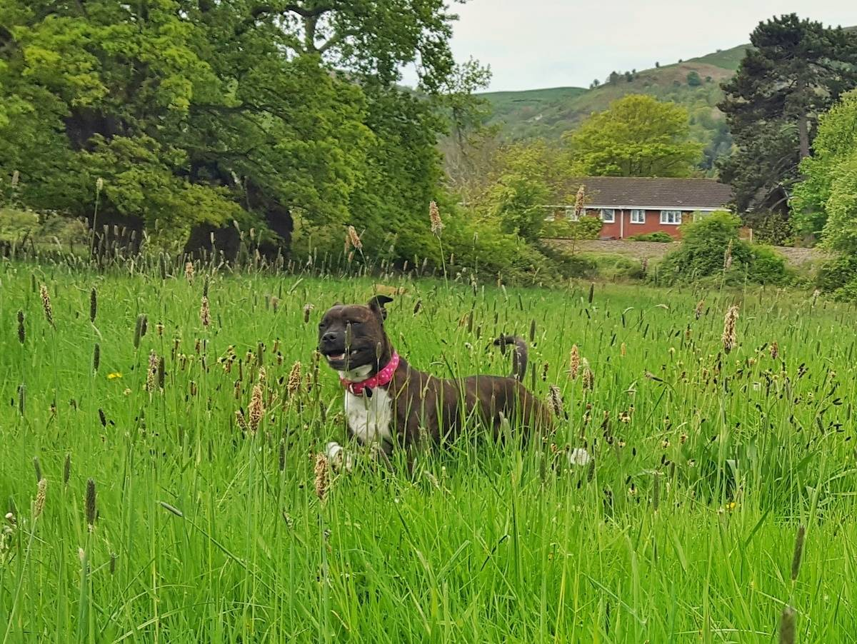 Brindle staffy running through a field of long grass with her eyes partly closed and a grin on her face