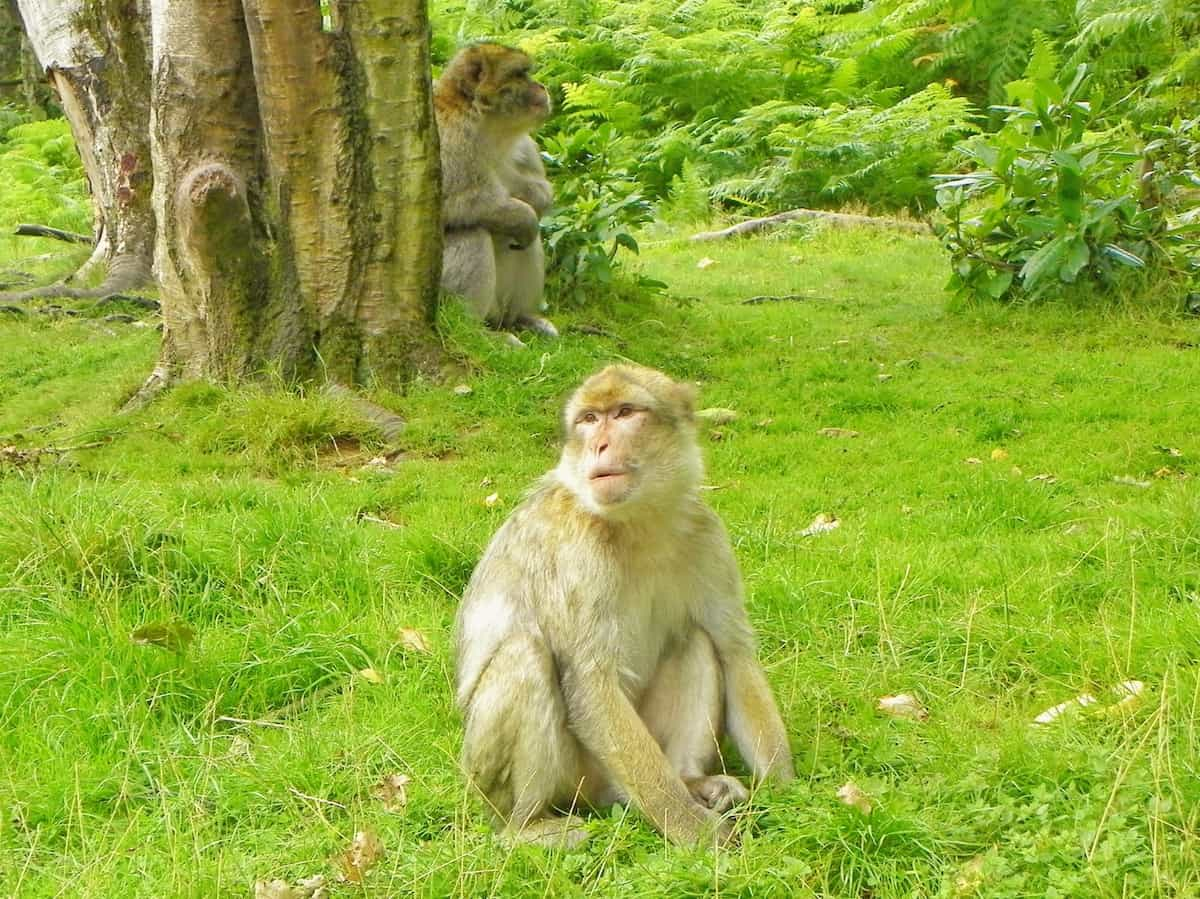 Two monkeys sitting by a tree at Monkey Forest in the West Midlands