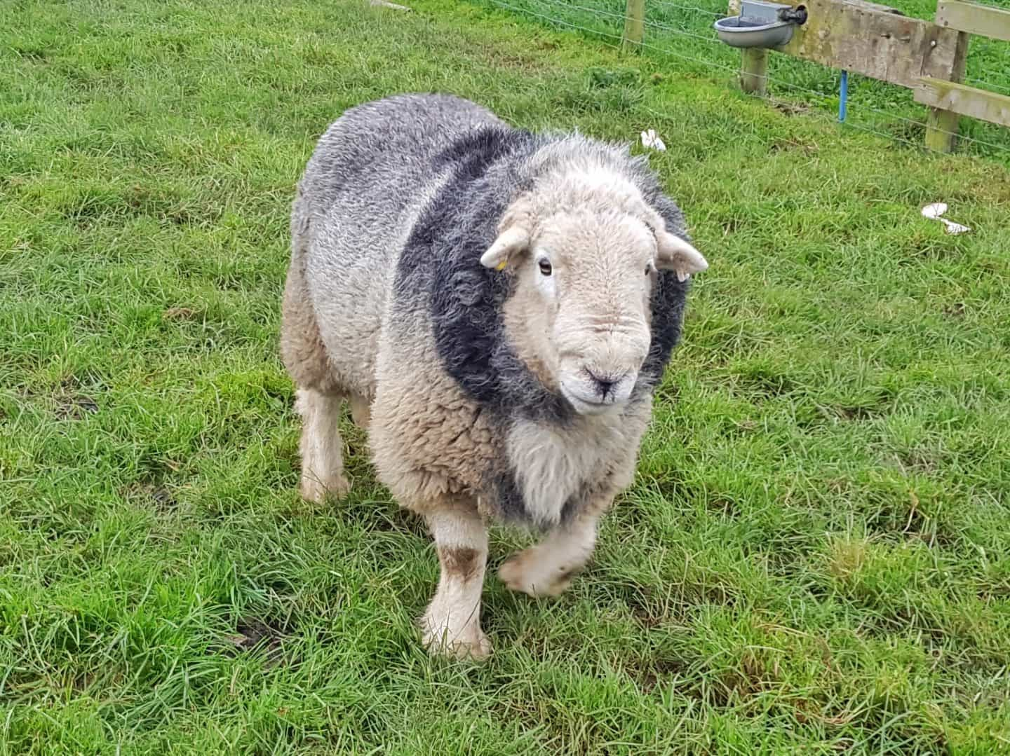 Things to do West Midlands February half term 2019 sheep at National Forest Adventure Farm