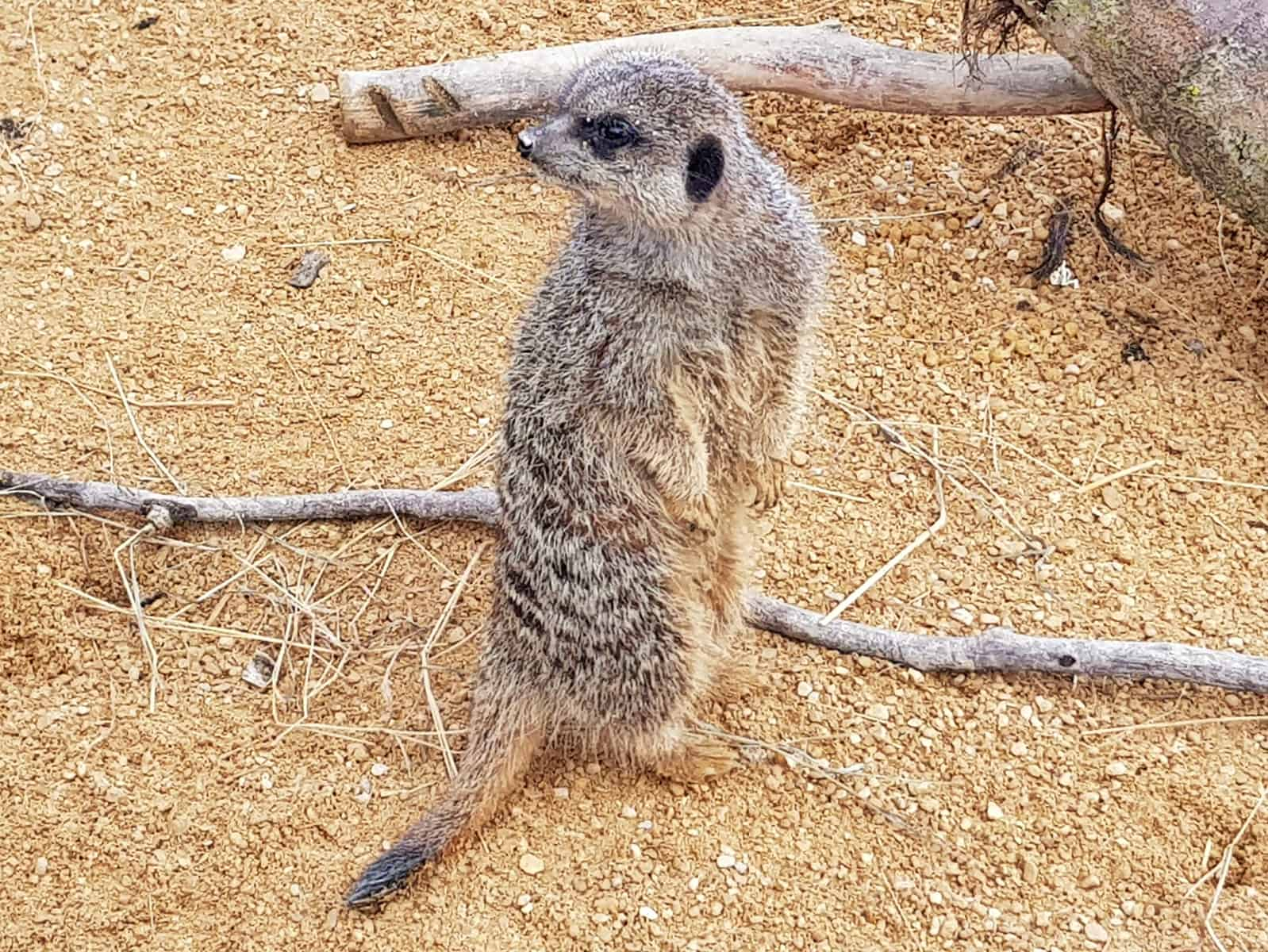 meerkat standing up at All Things Wild in Evesham, West Midlands