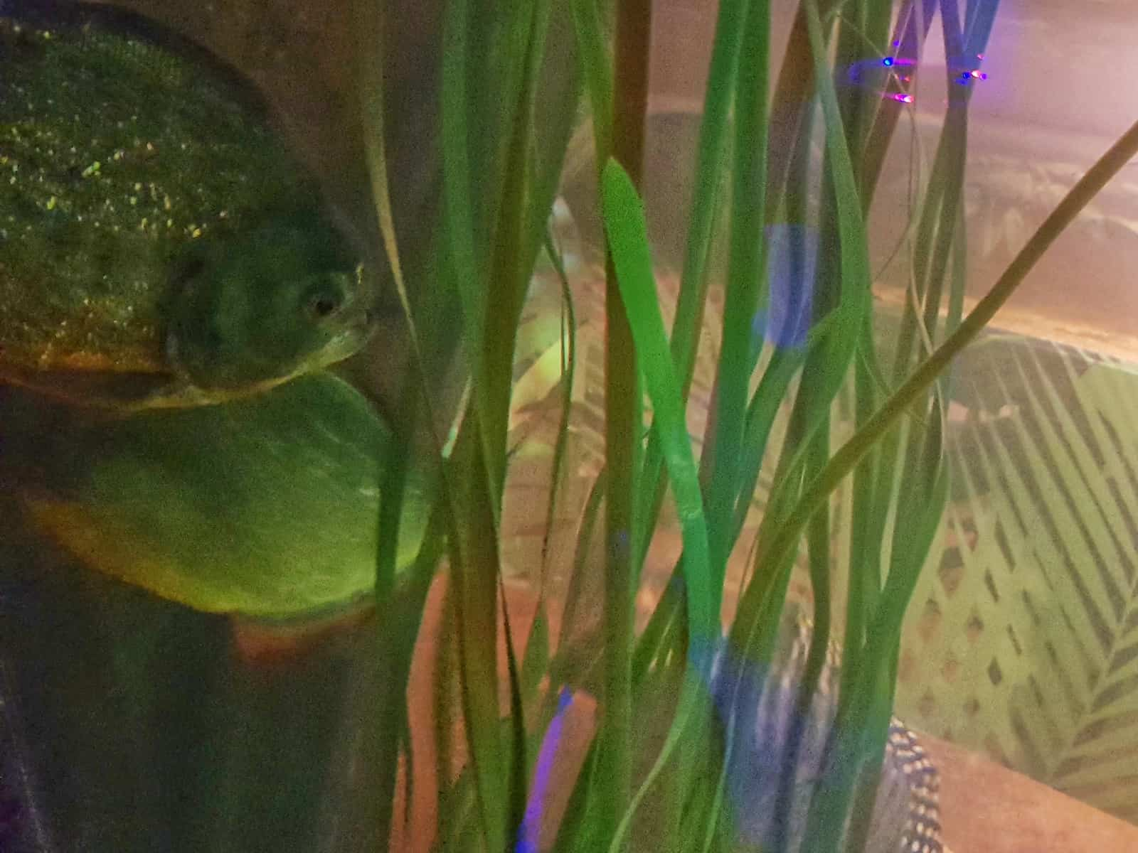 Two piranhas swimming in a tank with little girl behind in tunnel