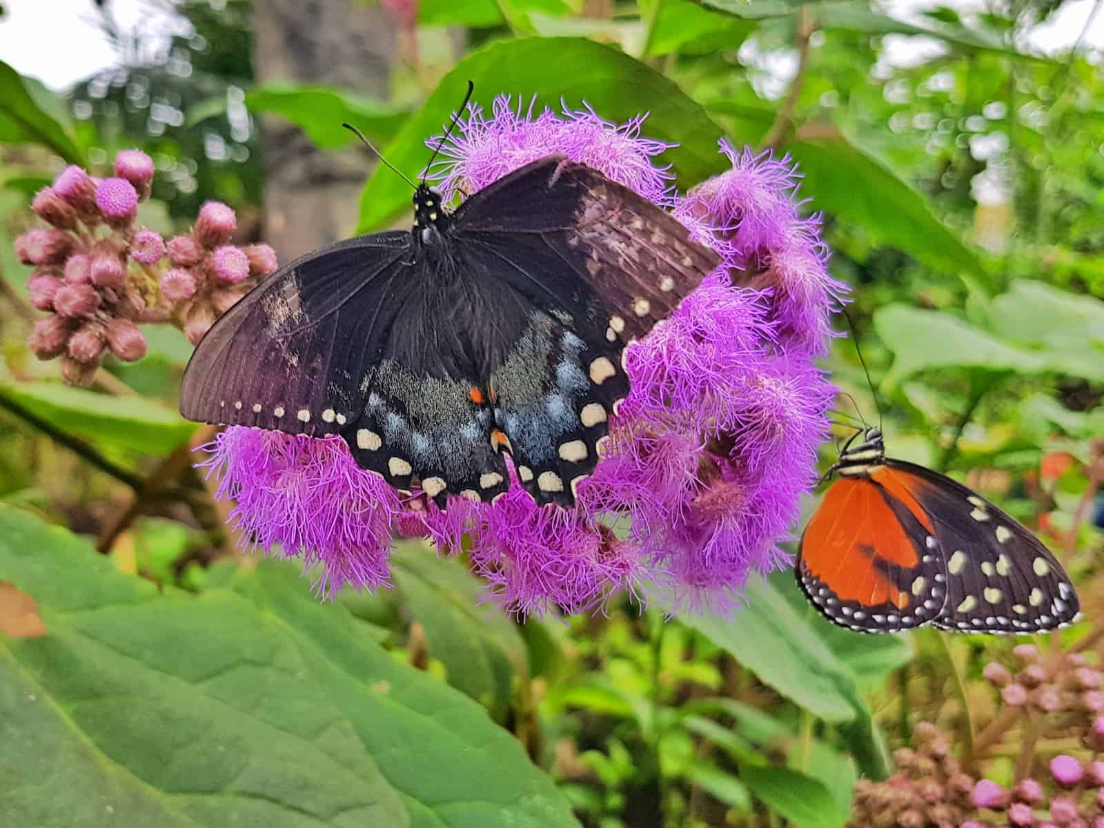 Large brown butterfly with white spots on a purple flower at Stratford Butterfly Farm West Midlands