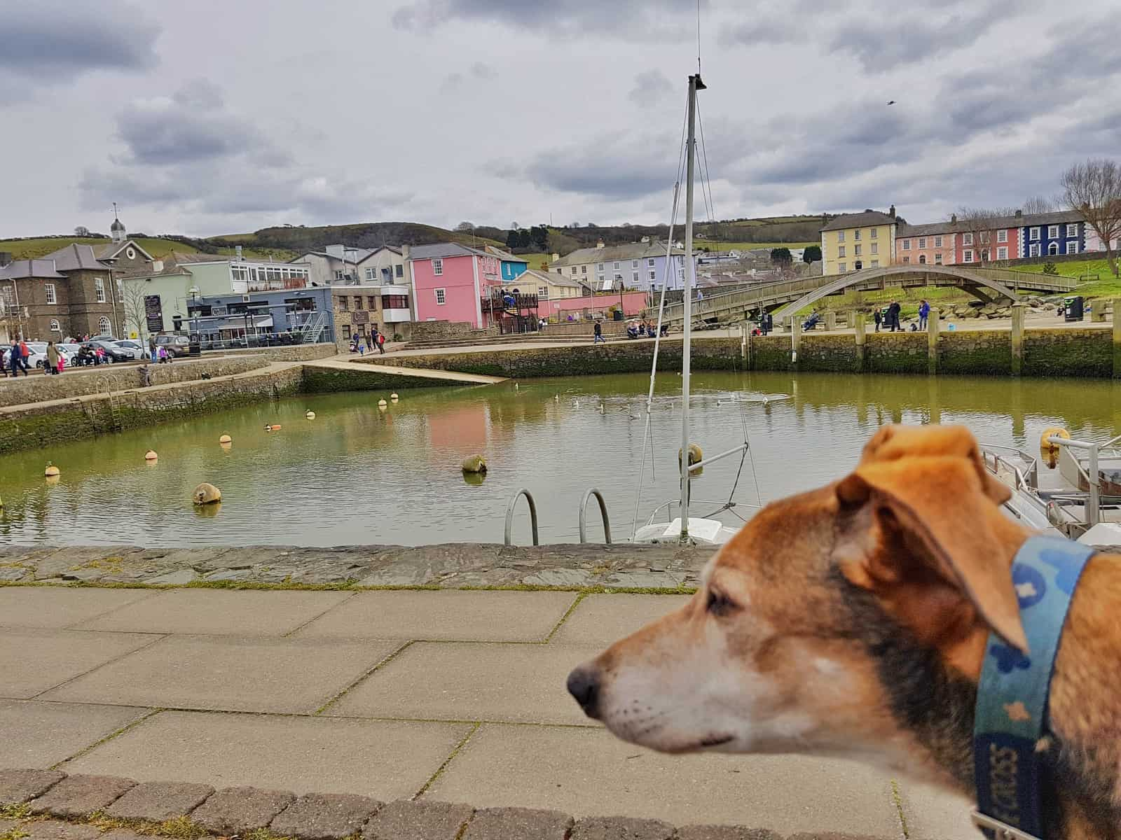 Dog looking out at harbour with bridge and colourful houses in background taken at Aberaeron harbour