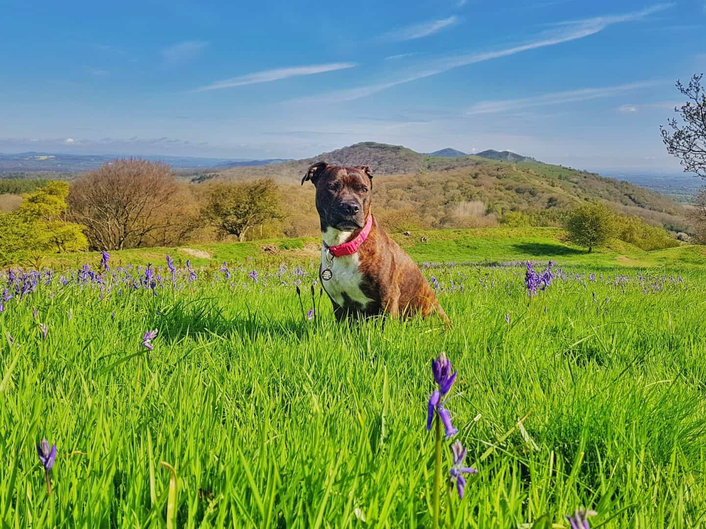 photo of a dog sat in a bluebell field with hills in background