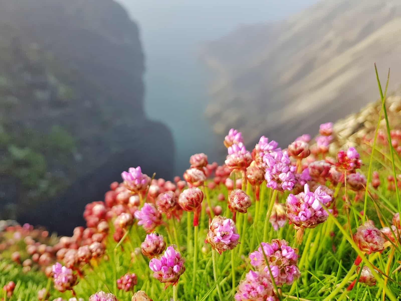 pink flowers on cliffside above Porthsele, a Pembrokeshire beach near Pencarnan farm