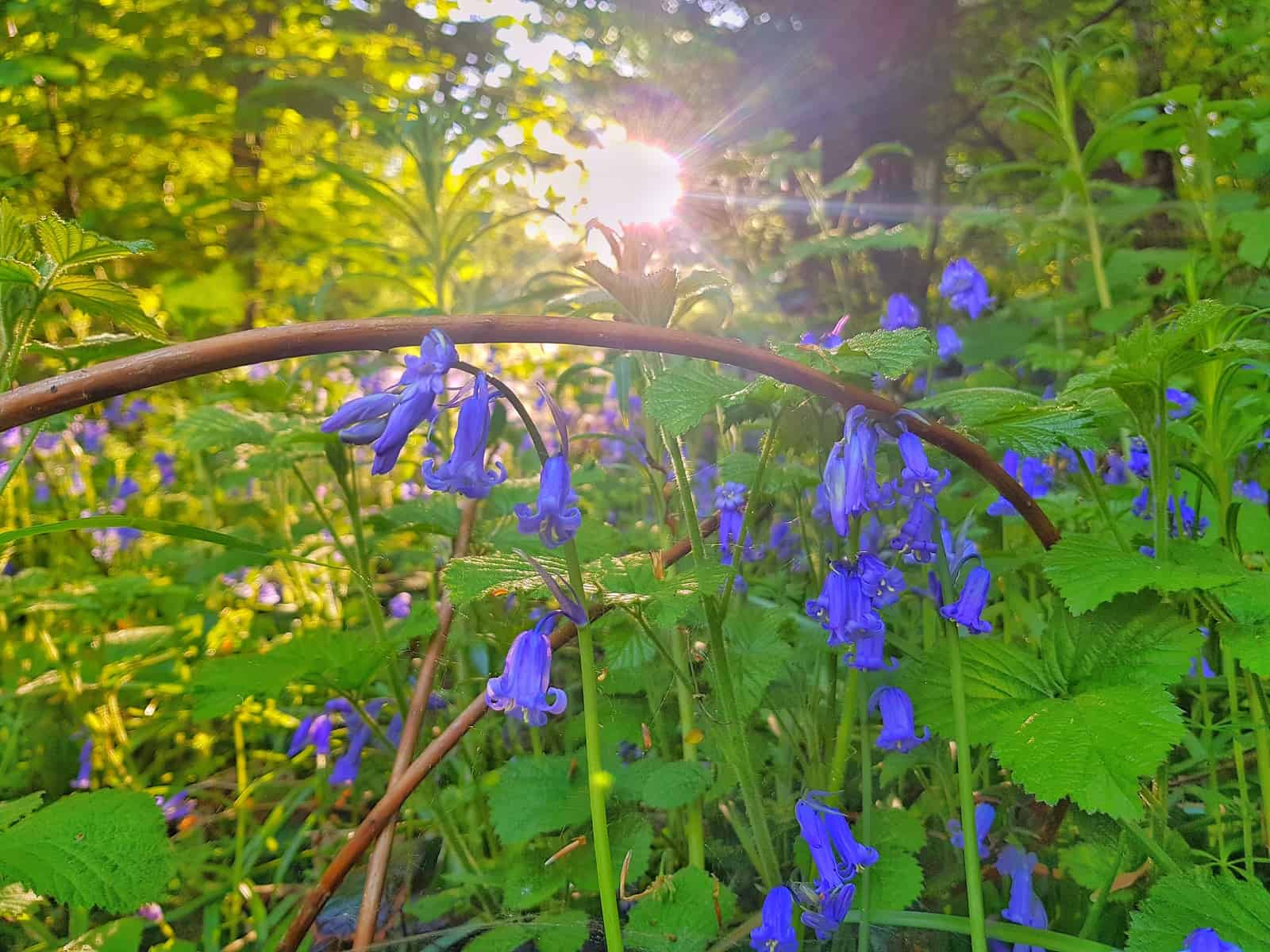 Bluebells in a British Woodland. Would you consider cutting out palm oil if it was British countryside being destroyed for palm oil plantations?