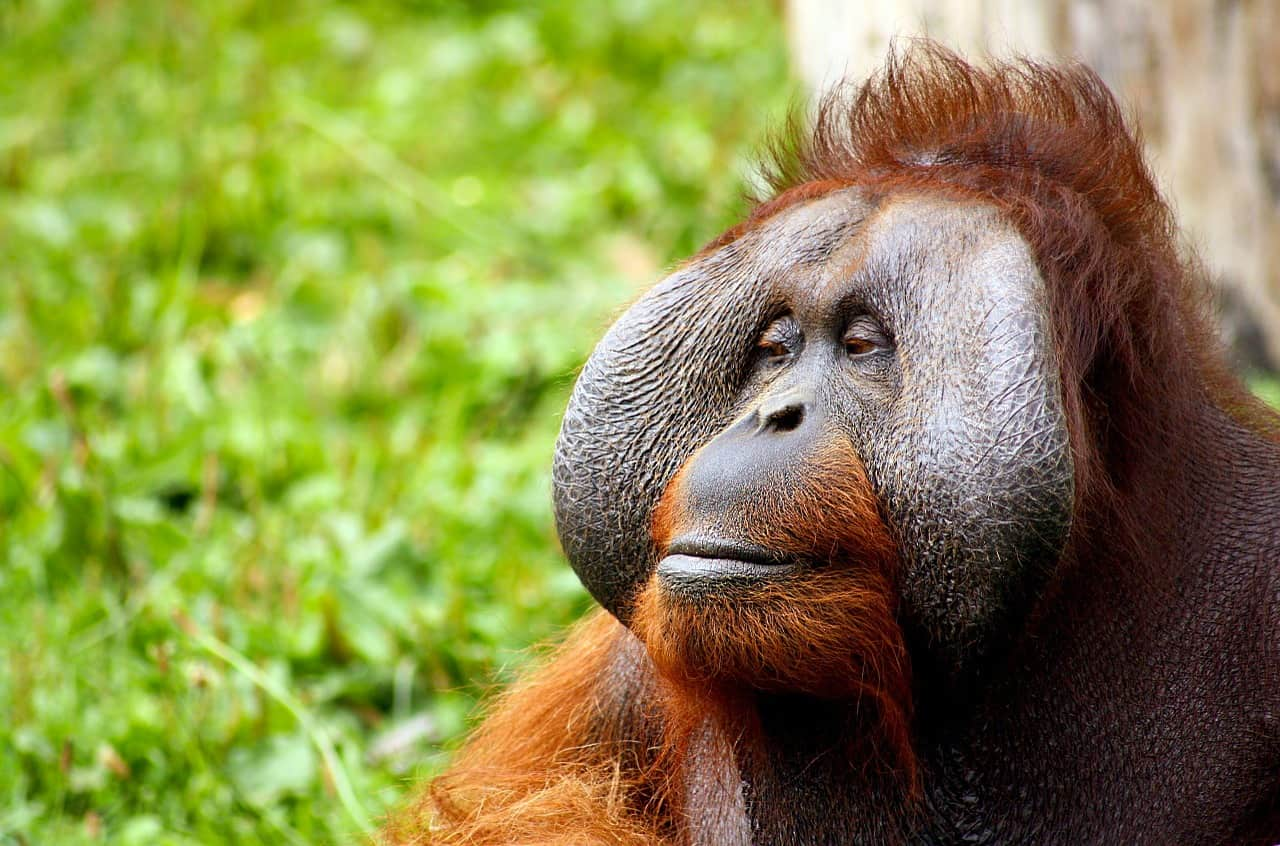 large-male-orangutan