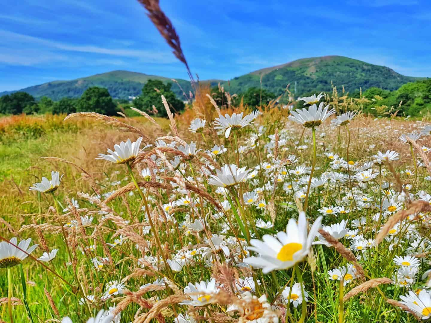 Daisies in foreground with Malvern hills in background