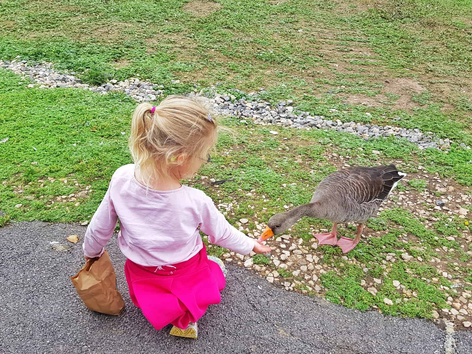WWT Slimbridge, Gloucestershire - little girl feeding goose by hand