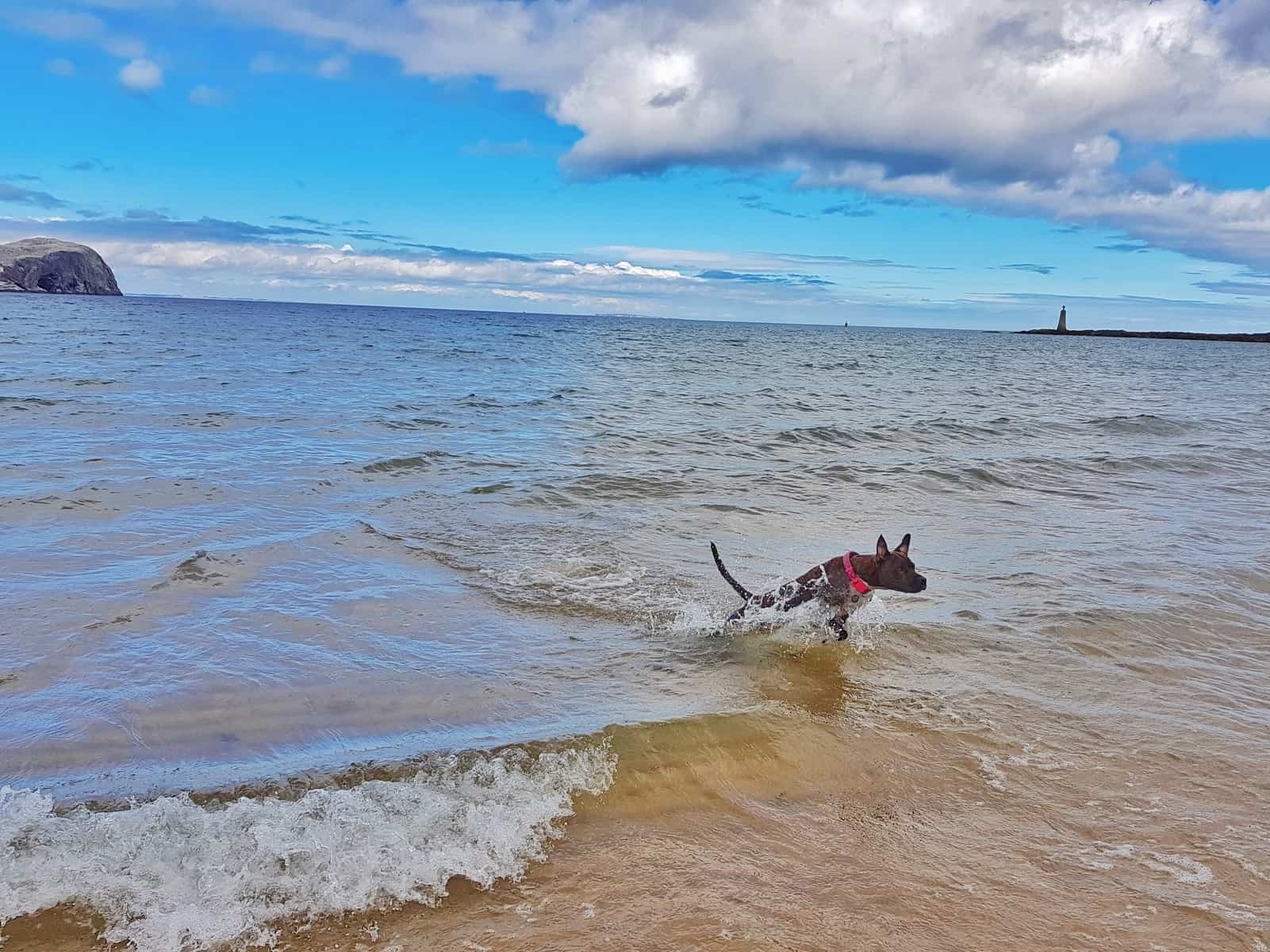 Tantallon Castle and Seacliff Beach East Lothian Scotland - dog in sea