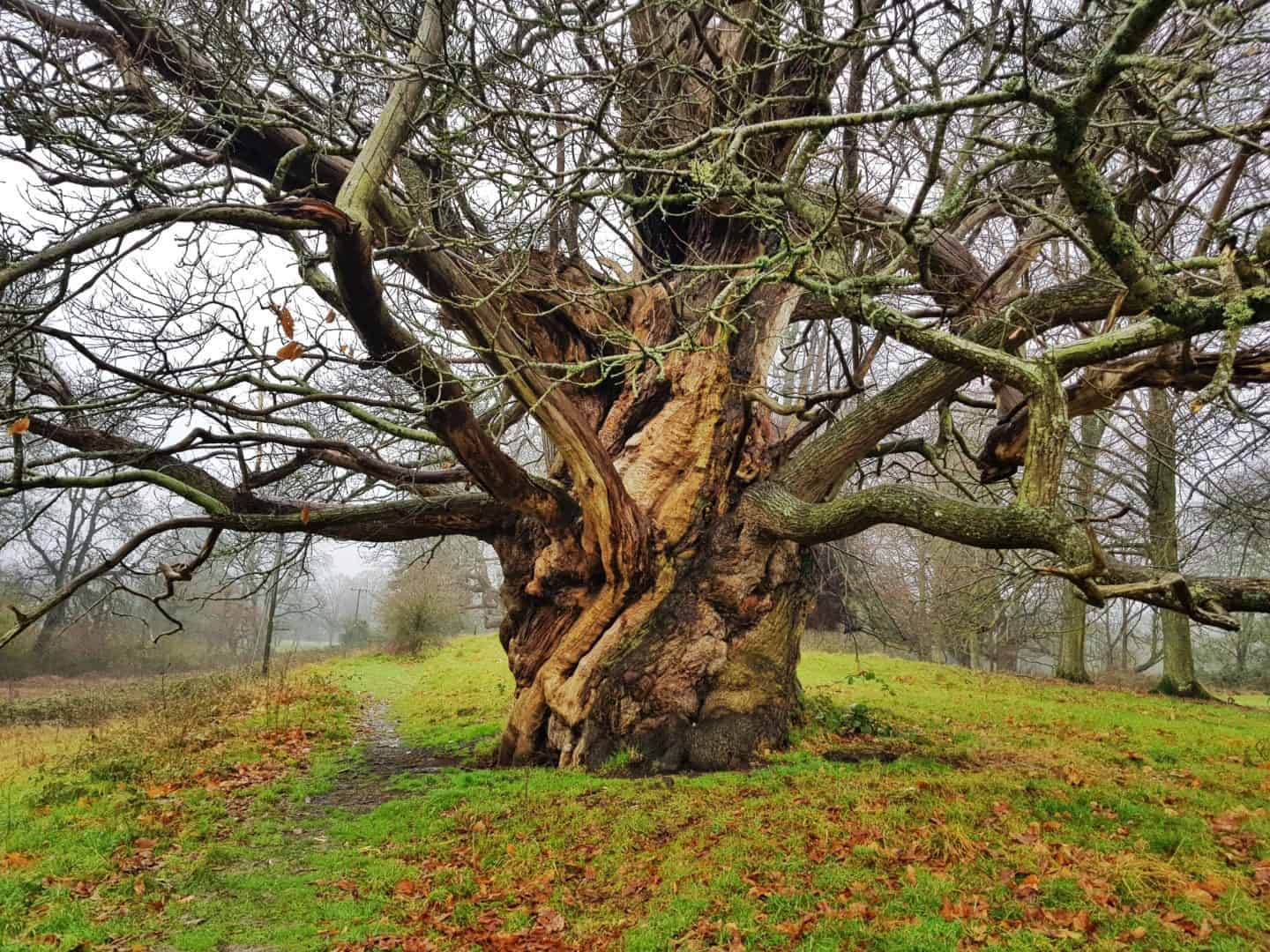 Ancient tree at Croft Castle National Trust Herefordshire