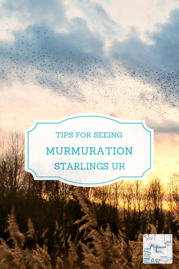 Murmuration | The murmuration of starlings is a natural spectacle in the UK. Find tips on how, when and where to see the murmuration. What equipment you will need and what time to arrive to see the starling murmuration before they go in to roost at sunset. #murmuration #starlings #outdoorfun #naturelovers #sunset