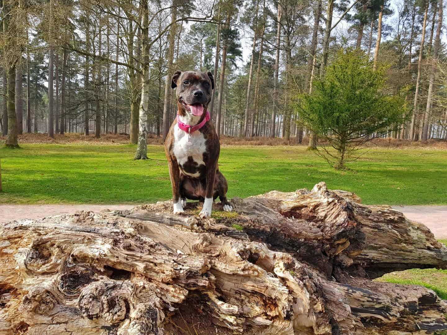 Dog friendly family day out at Cannock Chase Forest
