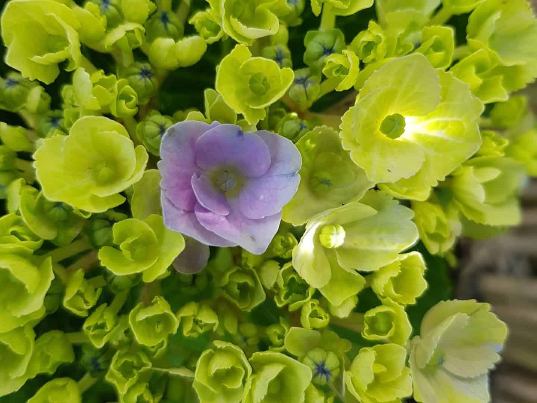 Magical Hydrangeas as a gift for garden lovers