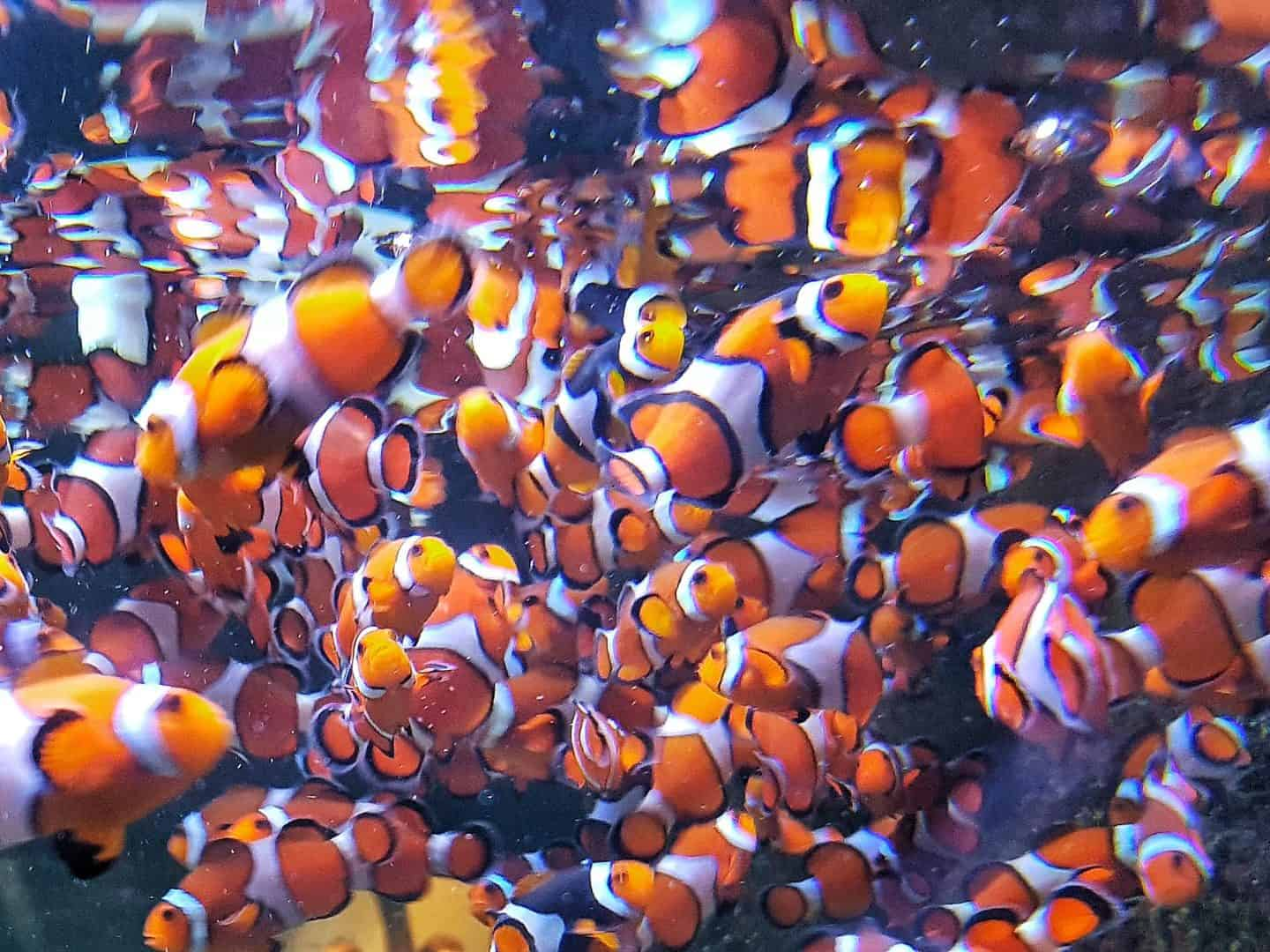 Clownfish at the National Sea Life Centre
