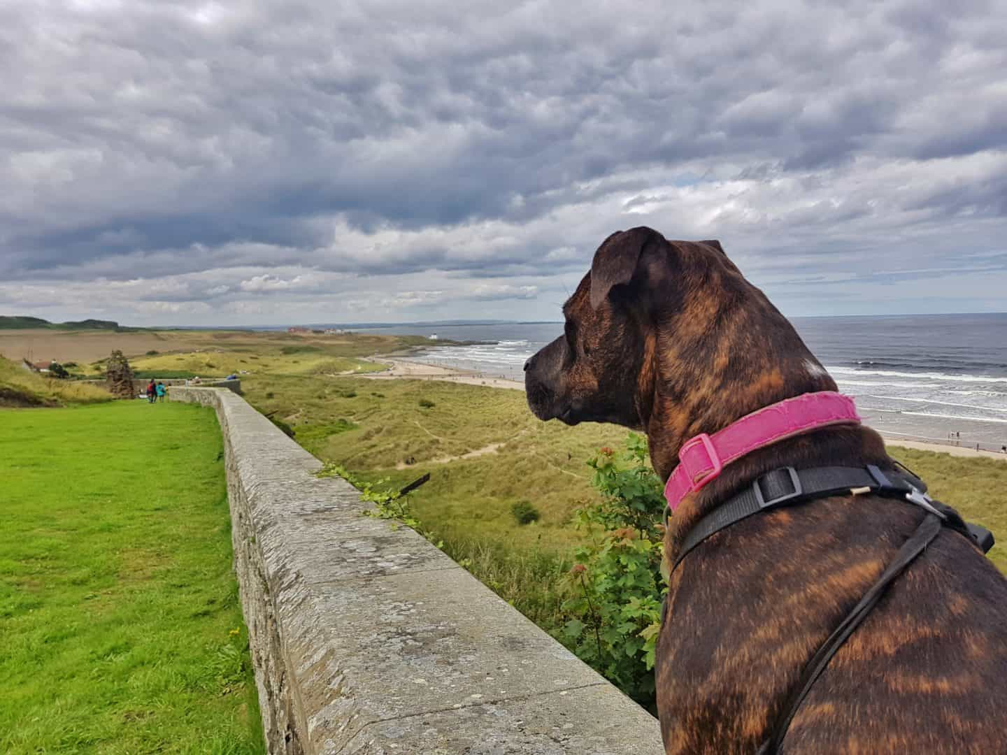 Brown dog looking out from Bamburgh Castle over the coast