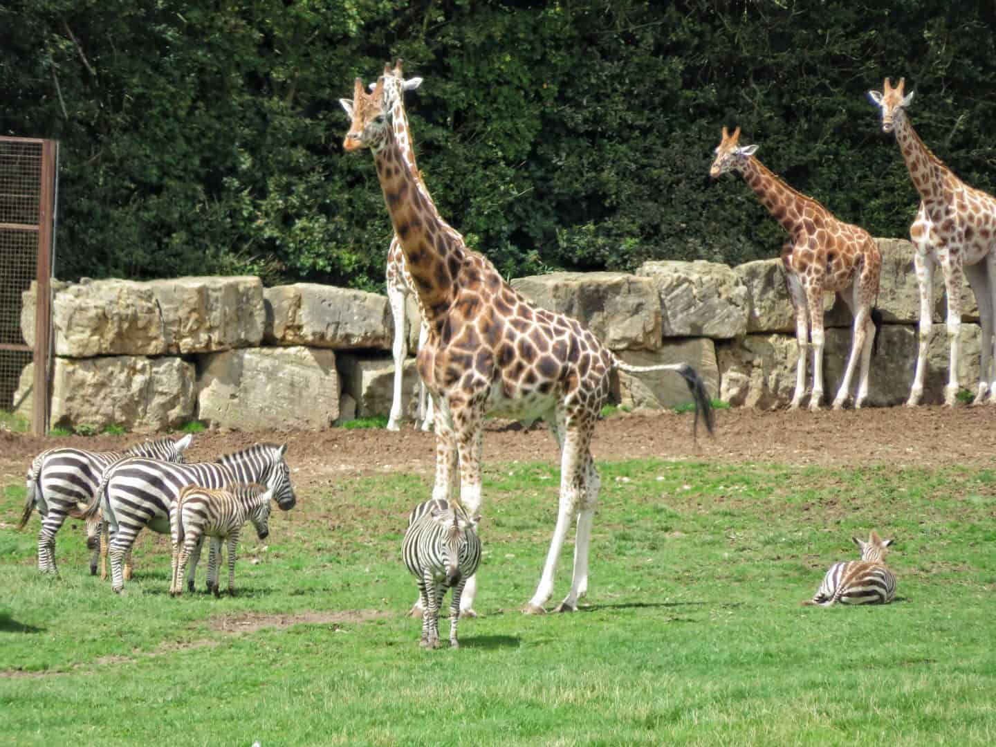 Giraffe and zebra at Longleat Safari Park