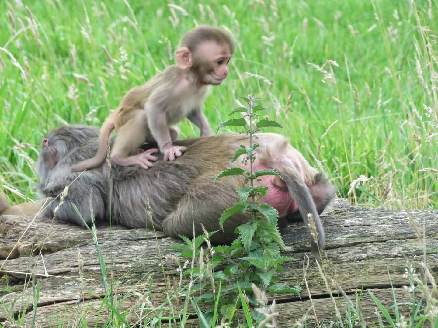 Baby monkey on adult monkey's back at Longleat Safari Park