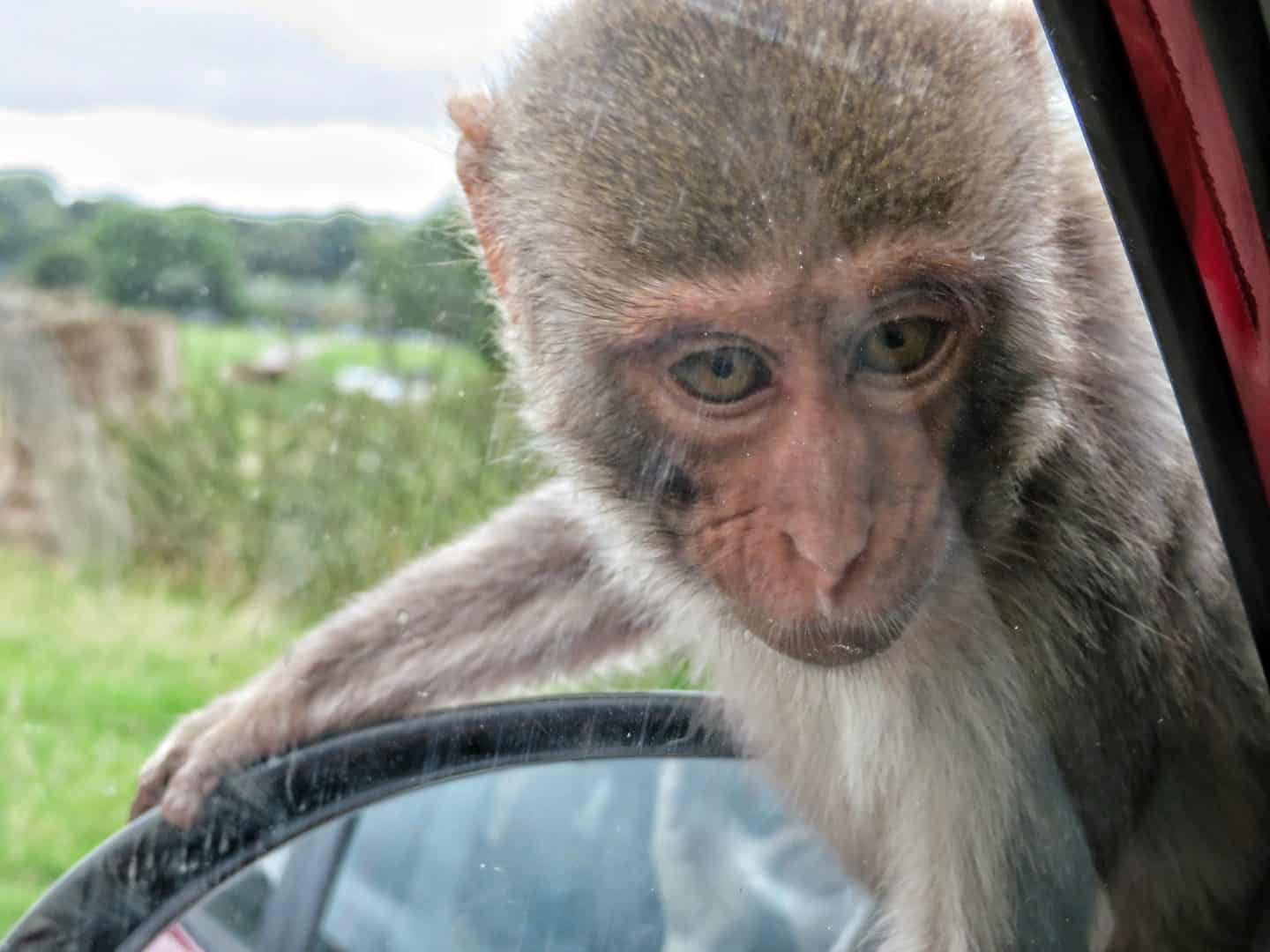 Monkey looking into car window at Longleat Safari Park