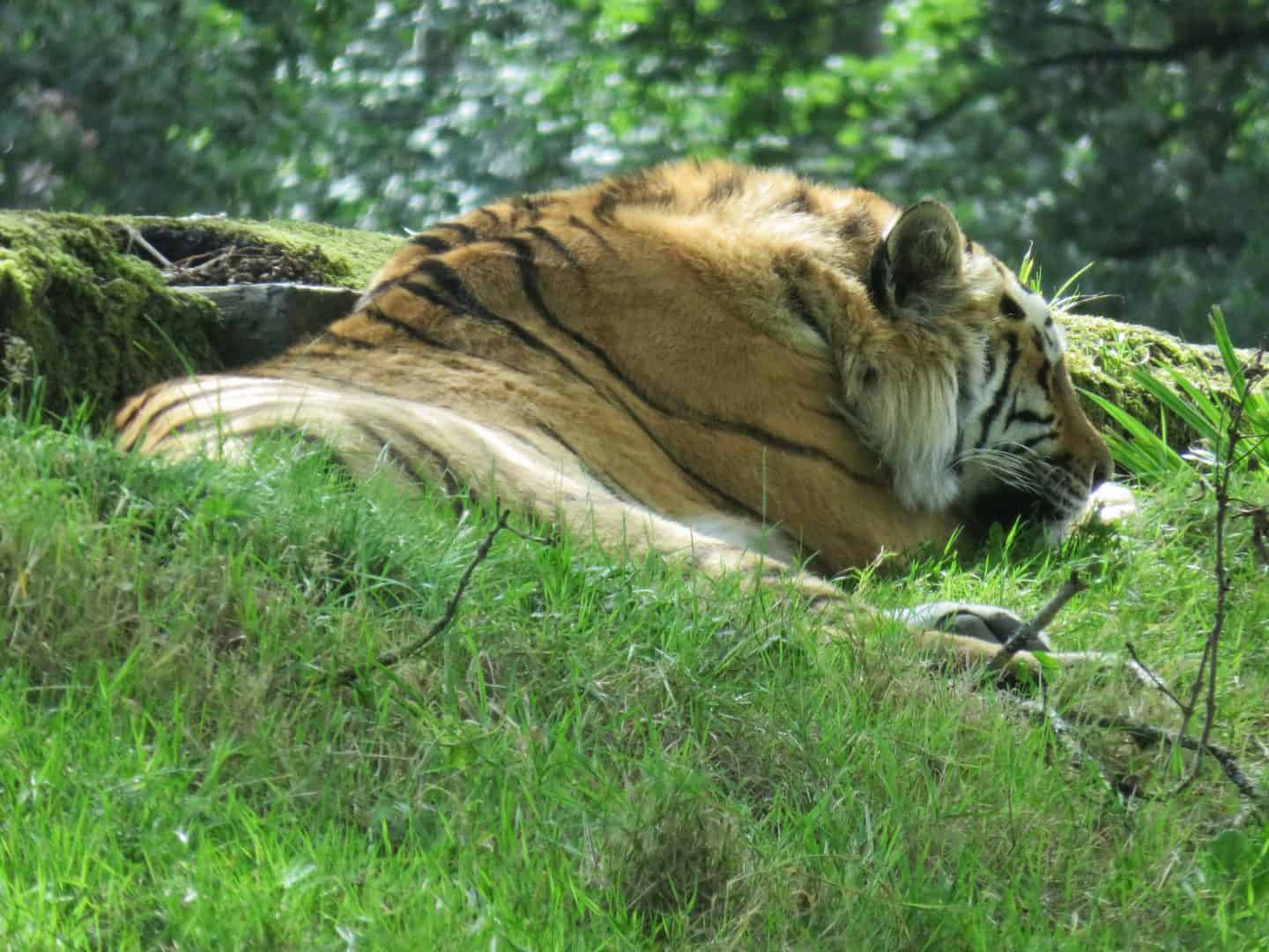 Tiger dozing in the shade at Longleat Safari Park