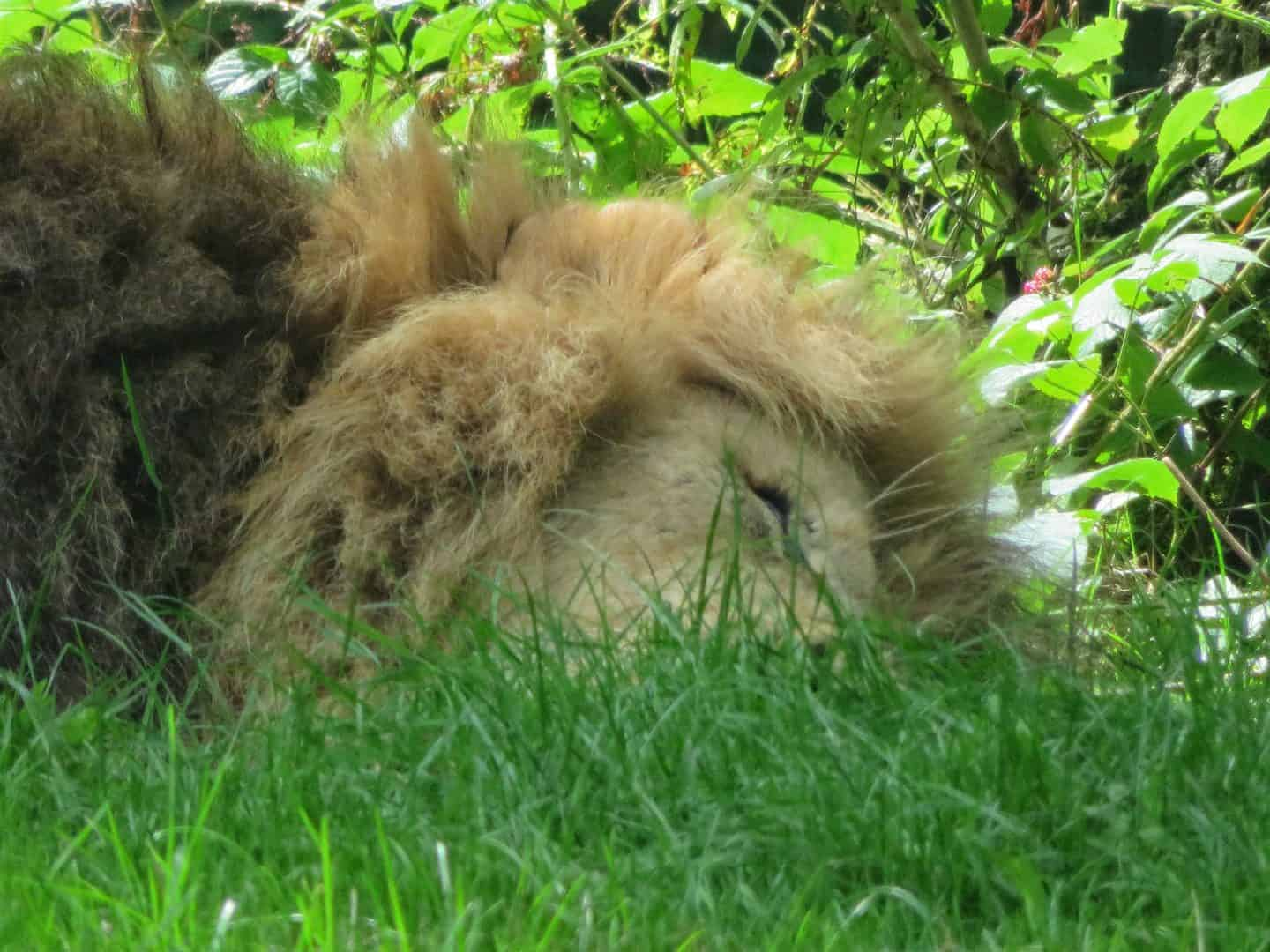 Lion dozing in the shade at Longleat Safari Park