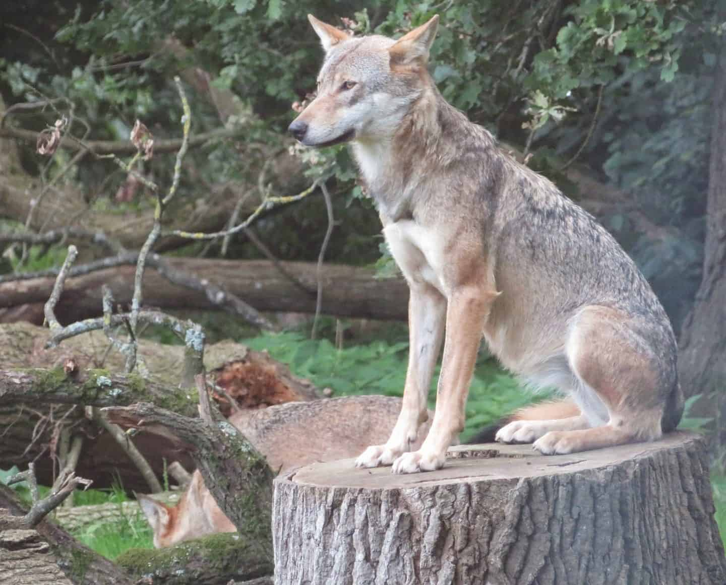 Wolf sitting upright on a log at Longleat Safari Park