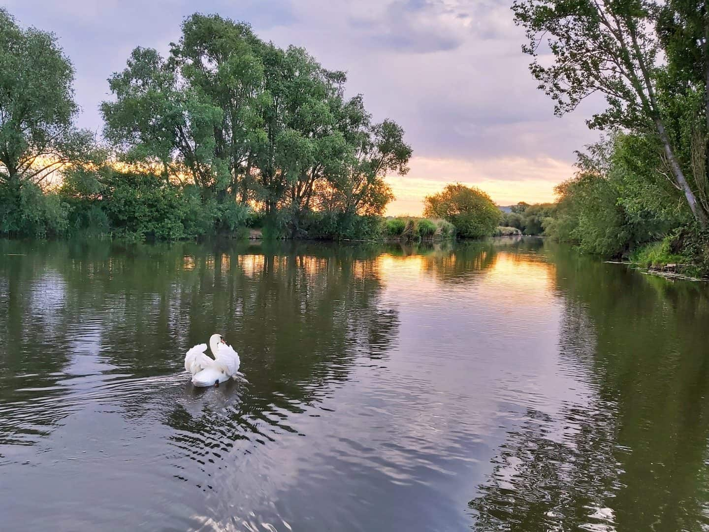 Swan with puffed up wings swimming away into the sunrise on the river