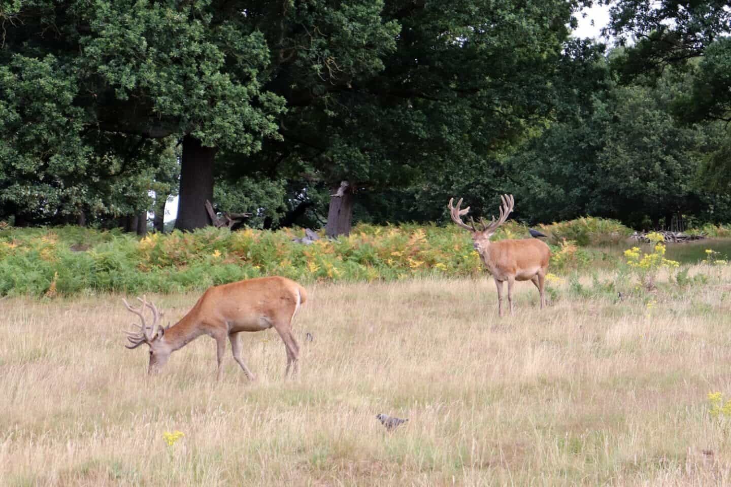 Two deer on Richmond Park, a great place to access nature in London